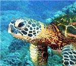 Mr. Big Head Turtle