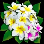 Plumeria Flowers Bouquet