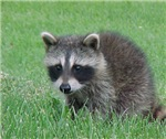 Racoon Clothes