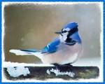 Blue Jay Christmas Card