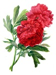 Red Peonies Drawn From Nature