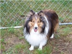 Charlie the Sheltie