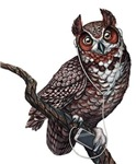Great Horned Owl with Headphones