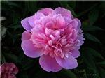 .pink peony.
