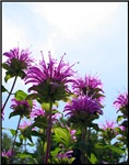 .purple bee balm.