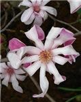 .pink star magnolia.