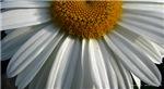 .half-daisy.