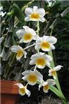 .orchid. V