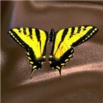 Western Tiger Swallowtail (8)