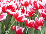 Red Tulips Photo 2003
