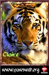 Claire the Tiger, Color Photo
