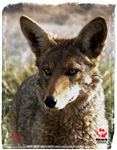 Jackie the Coyote