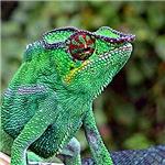Chameleon Gifts