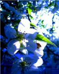 Apple Blossom Blues