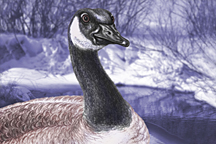 Canada Goose by Marc Brinkerhoff