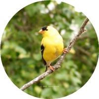 <b>GOLDFINCH IMAGES</b>