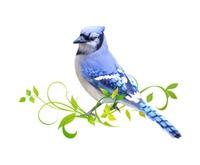 <b>BLUE JAY</b>