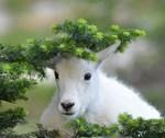 Kute Kid Mountain Goat