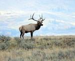 Rocky Mountain Elk 2