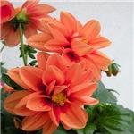 dreamly flower -more colors