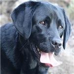 Black Labrador-face close up