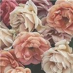 Great garden roses