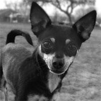 Chihuahua Shop!