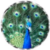 Peacock 5429