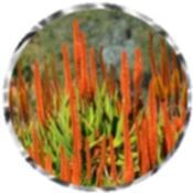 Orange Wolkberg aloe 1098