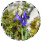 Purple/dark blue iris 2490