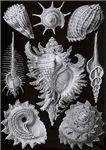 Haeckel Shell Plate