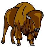 American Bison/Buffalo