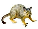 Cat Squirrel