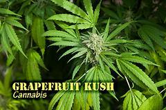 Grapefruit Kush (with name)