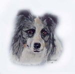 Border Collie...Blue and Gray