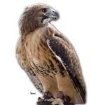 Red Tail Hawk (3)