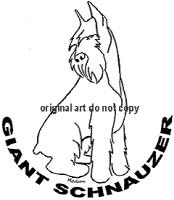giant schnauzer looks down