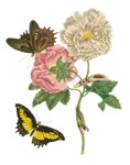 Butterflies and Hibiscus Rose