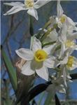 A Bunch of Daffodils