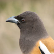 Rufous Treepie in India