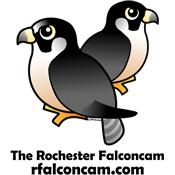 The Rochester Falconcam