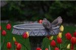 Spring Doves