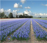 Holland Windmill Blue Purple Hyacinth Flowers Land