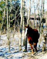 Horse in the Woods a Winter Scene