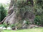 Ancient Eucalyptus