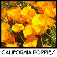 poppy gifts! state flower california poppies