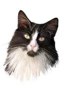 Black and White Maine Coon Girl