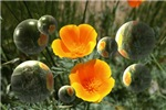 Poppies and Bubbles
