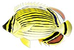 Oval Butterflyfish