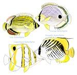 4 Butterflyfish